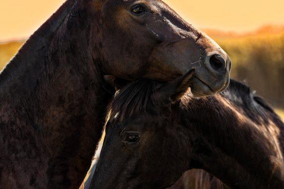 cavalos4